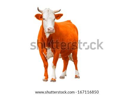 Orange Cow isolated on white - stock photo