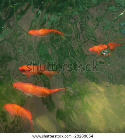 Orange coy fish in a colorful pool. - stock photo