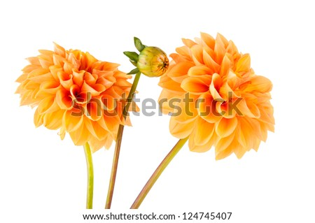 orange dahlia on white background