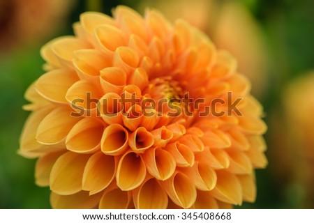 Orange dahlia petals macro, floral abstract background. Shallow DOF, outdoor shot. - stock photo