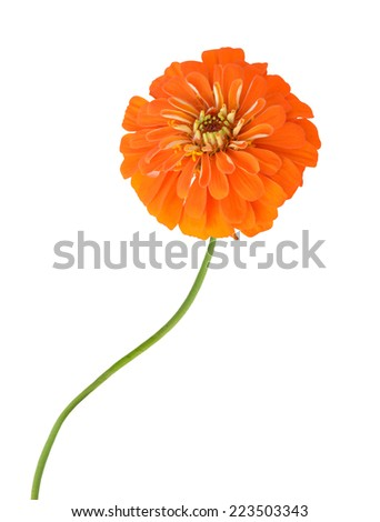 Orange daisy isolated on white. zinnia flower