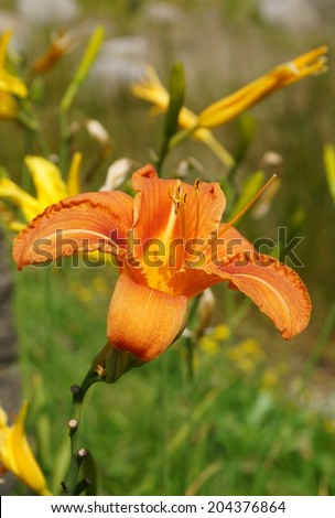 Orange day lily flowers in botanical garden. The beauty of decorative flower.