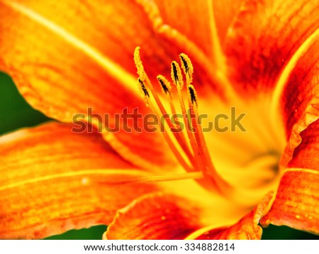 orange day lily (hermerocallis) macro, shallow DOF, focus on the anthers - stock photo