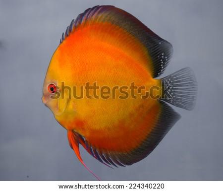 Orange discus fish - stock photo