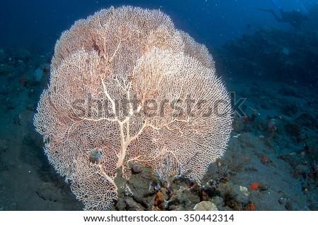 Orange fan coral - stock photo