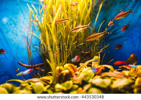 Orange fish swim in a blue aquarium - stock photo