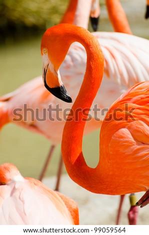 Orange flamingo - stock photo