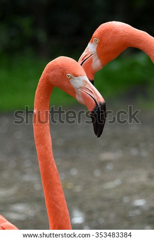 Orange Flamingo head with black beak and clean feathers