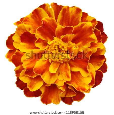 orange flower - stock photo