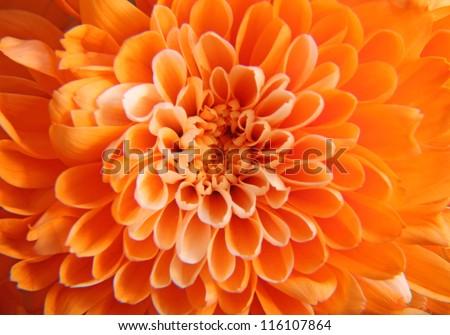 Orange flower background - stock photo