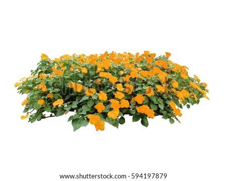 Orange flower bush tree isolated whited stock photo royalty free orange flower bush tree isolated whited background mightylinksfo