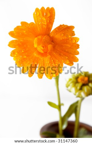Orange flower covered of water drops on white background