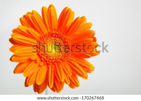 Orange flower gerber daisy on gray background - stock photo