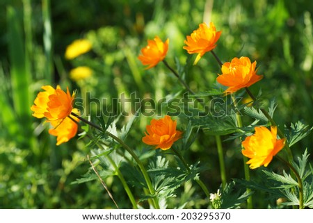 Orange flower in the garden. Close up.                                   - stock photo