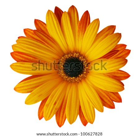 Orange flower isolated on white background - stock photo