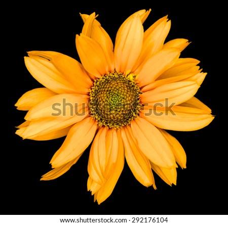 Orange flower of a decorative sunflower Helinthus isolated on black - stock photo