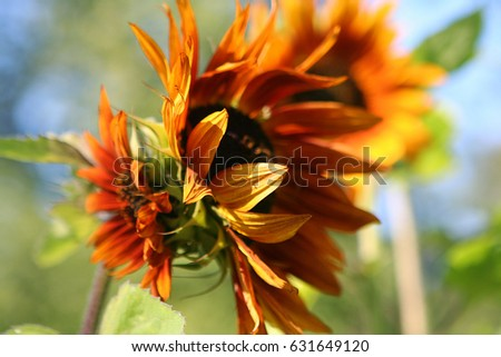 Orange flower of a sunflower in the park