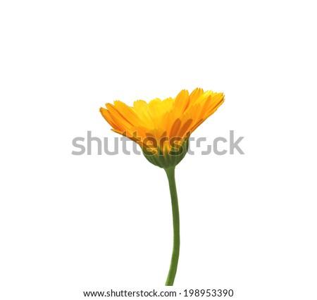 Orange flower of calendula on white background - stock photo