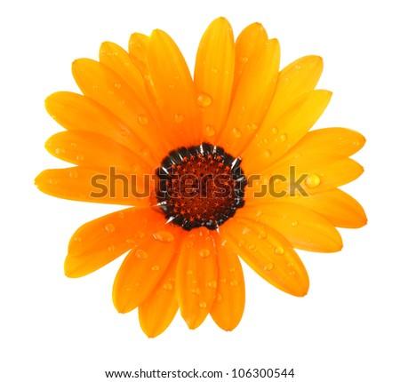 orange flower of dimorphotheca isolated on white background - stock photo