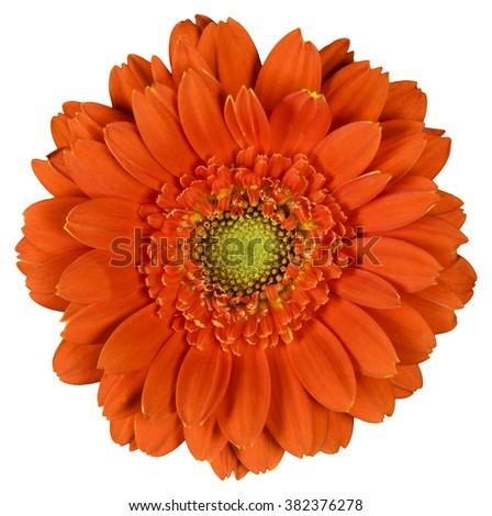 Orange flower on  isolated white background - stock photo