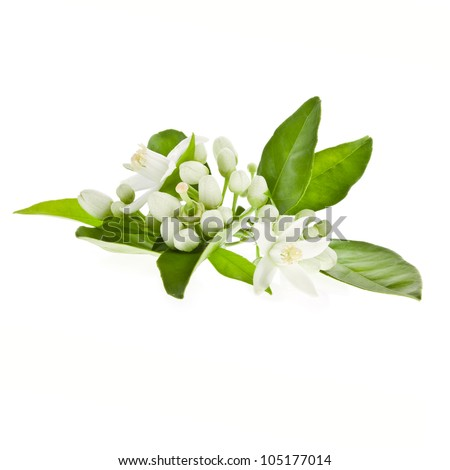 Orange flowering branches isolated on white background. - stock photo