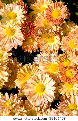 orange flowers - stock photo