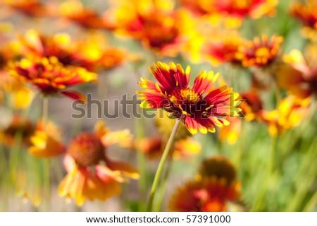 Orange flowers - stock photo