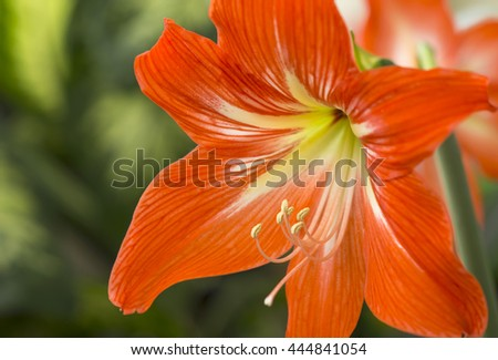 Orange flowers Hippeastrum or Amaryllis in nature garden background, Amaryllidaceae, blossom flowers Amaryllis or Hippeastrum with fresh mood - stock photo