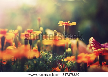 orange flowers in garden flowerbed. Vintage nature outdoor autumn photo