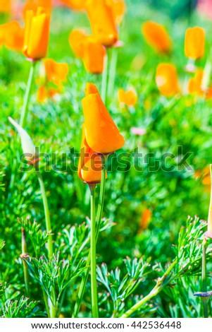 Orange flowers in garden, Thailand - stock photo