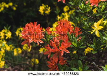 Orange flowers of rhododendron in the background of lush green - stock photo