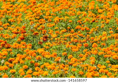 Orange Flowers Tagetes Field