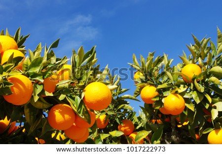 Orange fruits hanging on tree