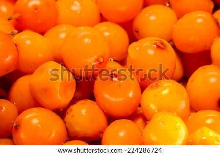 "Orange fruits of Hippophae rhamnoides, common name sea-buckthorn, in romanian known as ""Catina"" or ""Catina alba""."