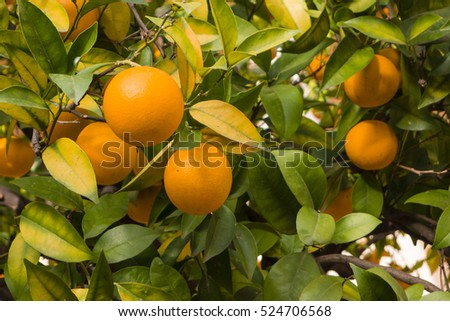 Orange fruits on trees in winter time, Citrus sinensis