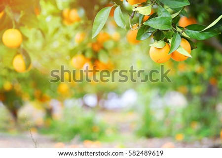 Orange Garden Stock Photo (Royalty Free) 582489619 - Shutterstock