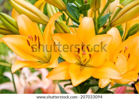 Orange garden lily with open flowers and buds - stock photo