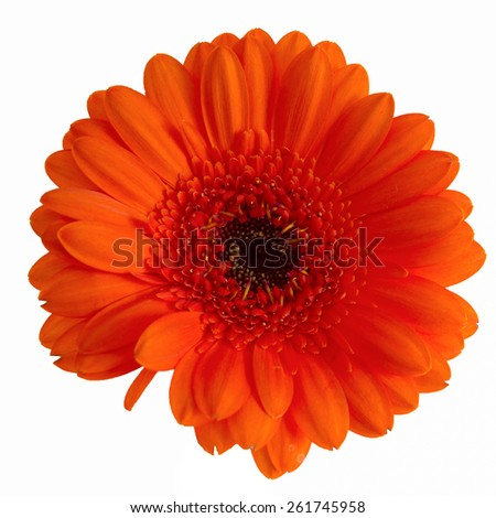 Orange Gerber daisy isolated on a white background - stock photo