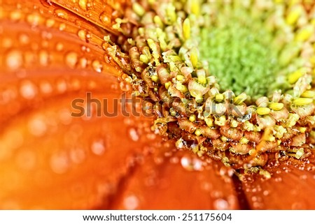 Orange gerber daisy macro abstract with water droplets on the petals. Extreme shallow depth of field.