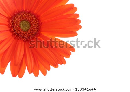 Orange gerber daisy on white