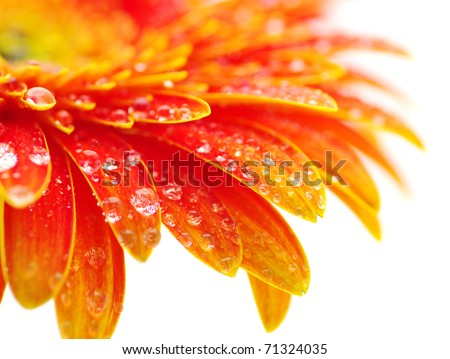 Orange gerbera - stock photo