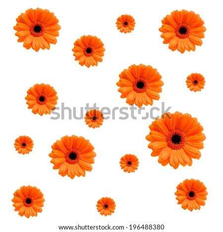 Orange Gerbera daisies of various sizes scattered around. - stock photo
