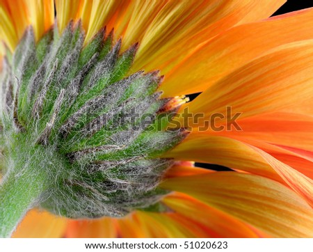 Orange Gerbera Daisy (Asteracea) - Macro