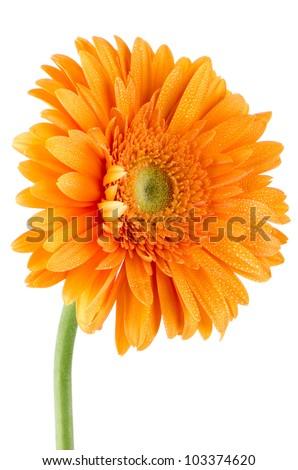 Orange gerbera daisy flower isolated on white background. - stock photo