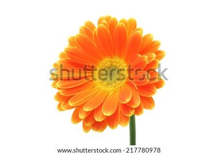 Orange gerbera daisy isolated on white background  - stock photo