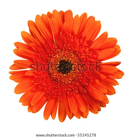 Orange gerbera flower. Closeup, isolated on white - stock photo