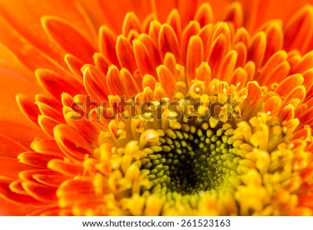 Orange gerbera flower for background.