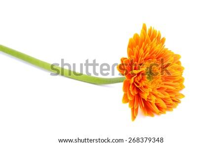 orange gerbera flower, Isolated on white background - stock photo