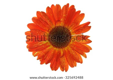 Orange Gerbera flower on pure white background. - stock photo