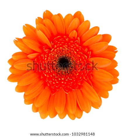 Orange Gerbera flower on the white background